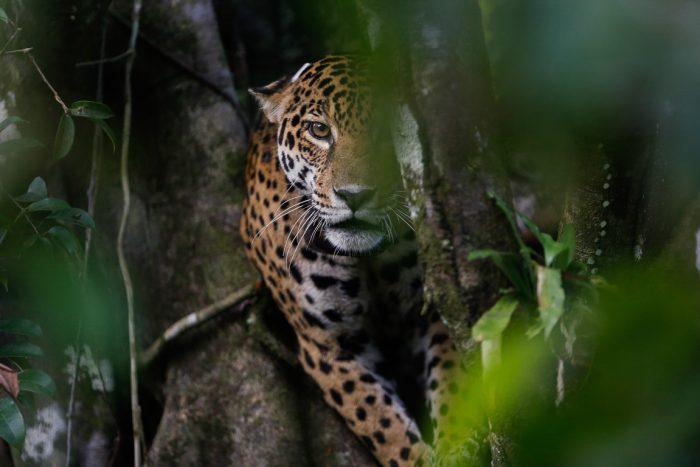 Dia da Amazônia: onça-pintada
